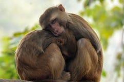 母亲和小短尾猿-猴子 免版税库存图片