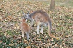 母亲和小袋鼠2 库存图片