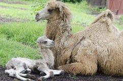 母亲和小骆驼 免版税图库摄影