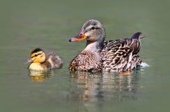 母亲和小鸭子 免版税图库摄影