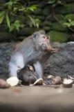 母亲和小猴子哺养 免版税图库摄影