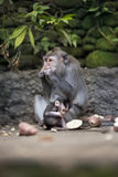 母亲和小猴子哺养 免版税库存图片