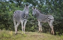 母亲和幼小斑马在狂放的自然的南非 免版税库存图片