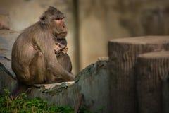 母亲和幼小短尾猿猴子在石篱芭 免版税库存照片