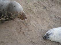 母亲和海狮幼崽 图库摄影