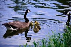 母亲和父亲鹅2 免版税库存照片