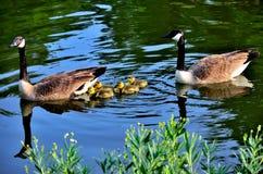 母亲和父亲鹅3 库存照片
