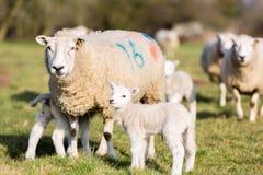 母亲和羊羔 图库摄影