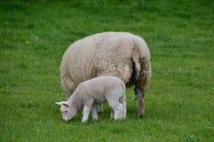 母亲和羊羔 免版税库存图片