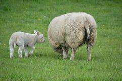 母亲和羊羔 库存照片