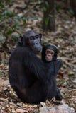 母亲和婴儿黑猩猩在自然生态环境 免版税图库摄影