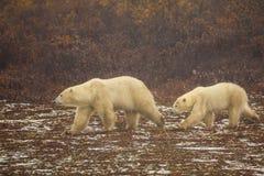 母亲和年轻北极熊走 库存照片