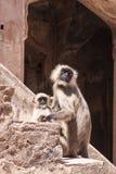 母亲和婴孩印地安灰色叶猴或Hanuman叶猴胡闹(S 免版税库存照片