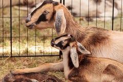 母亲和婴孩尼日利亚矮小的山羊 免版税库存图片