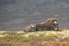 母亲和婴孩麝牛 免版税图库摄影