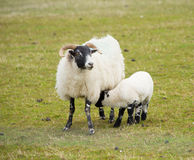 母亲和婴孩黑体字Mull有垫铁和白色和黑腿的苏格兰英国绵羊小岛  图库摄影