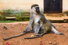 母亲和婴孩黑长尾小猴,乌干达 免版税库存照片