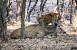 母亲和婴孩sambhur 免版税库存图片