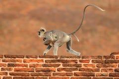 母亲和崽赛跑 斯里兰卡的野生生物 共同的叶猴, Semnopithecus entellus,在橙色砖瓦房的猴子,自然 库存照片