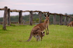 母亲和joey袋鼠在伊普斯维奇,昆士兰 图库摄影
