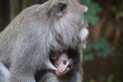 母亲哺乳的小猴子 免版税图库摄影