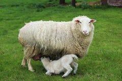 母亲哺养的年轻人用牛奶 库存图片