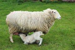 母亲哺养的年轻人用牛奶 免版税库存图片