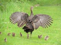 母亲土耳其和小鸡 免版税库存照片