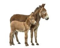 母亲在白色和她的驹隔绝的普罗旺斯驴 免版税库存照片