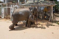 母亲大象和小牛在Pinnawala 免版税库存照片