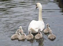 母亲天鹅和她的七只小鸡1 库存照片