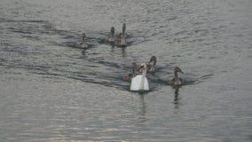 母亲天鹅和鸭子 免版税库存图片