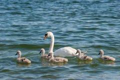 母亲天鹅和婴孩小鸡 免版税库存图片