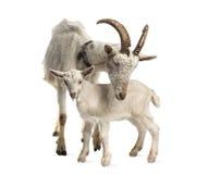 母亲山羊和她的孩子(8个星期年纪) 免版税库存图片