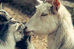 母亲山羊和孩子 库存照片