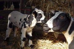 母亲山羊和小的山羊 图库摄影