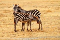 母亲斑马哺养的婴孩 免版税库存照片