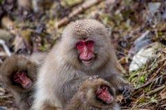 母亲日本短尾猿修饰一只幼小猴子 免版税图库摄影