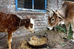 母亲母牛和她的小牛 免版税库存图片