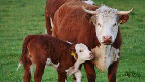 从母亲母牛的小牛饮用奶 股票视频