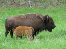 母亲水牛和小牛在狂放 库存图片