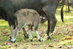 母亲水牛护理它的婴孩 泰国 图库摄影