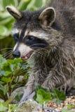 母亲浣熊寻找的`我时间` 免版税库存照片