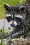 母亲浣熊寻找的`我时间` 免版税图库摄影