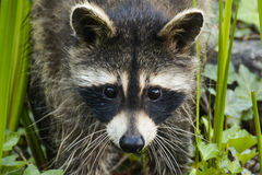母亲浣熊寻找的`我时间` 免版税库存图片