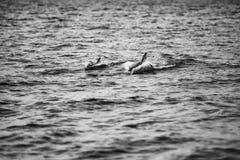 母亲海豚和小牛游泳在摩顿湾 黑色白色 图库摄影