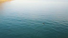 母亲海豚空中射击与婴孩的在黑海 跳跃的海豚游泳和 股票视频