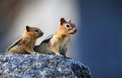 母亲灰鼠 免版税图库摄影