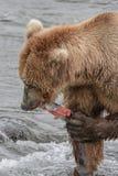 母亲熊吃她捉住了的一条三文鱼-溪秋天-阿拉斯加 库存照片