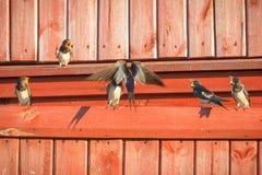 母亲燕子喂养它的小鸡 年轻刚孵出的雏家燕 免版税图库摄影